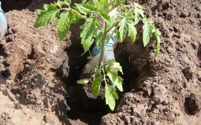 Посадка помидоров | Строительный експерт !